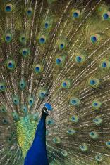 Peacock (Indian Peafowl) (Pavo cristatus)