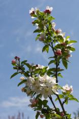crabapple white pink
