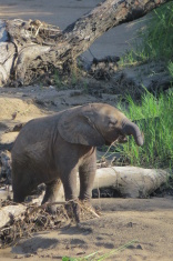 Baby Elephant in the Ruaha National Park