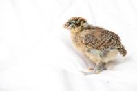 Easter Egger Chick