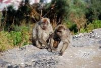 Family of Garbary Apes, Gibraltar.