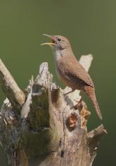 House Wren Singing on a Stump