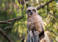 Great Horned-Owl Baby