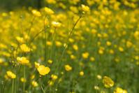 Closeup of Spring Flower Field