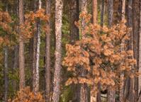 Lodgepole pine killed by bark beetle