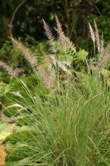 Plume Grass / Pennisetum Alopecuroides