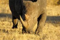 Portrait from a big white rhino