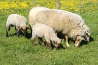 Sheeps at the feed