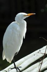 Yellow billed Egret