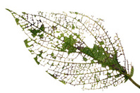 Leaf of a rainforest shrub after attack by browsing insects