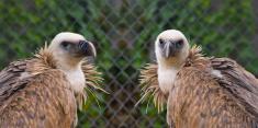 Griffons vulture (gyps fulvus)
