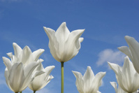 White Tulips against a blue sky