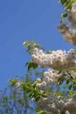Cherry Blossom at Spring