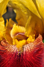 Orange Iris Macro