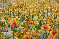 Orange orchids # 2 XL
