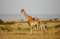 Masai Giraffes in Kenya