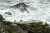 Tern sitting on a rock