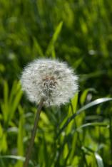 Single Dandelion Grass Background