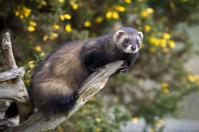 Polecat on a branch