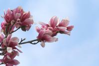Pink Tulip Tree 2