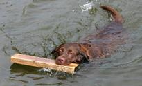 Labrador Fetching a board