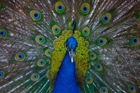 Peacock mating ritual
