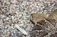 Snake coiled in the gravel