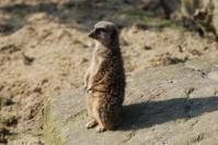 Meerkat in the evening sun