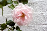 Pink rose, white wall