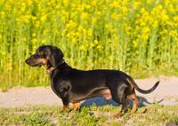 dachshund male dog