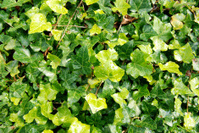 bed of ivy