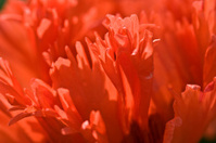 Oriental poppy series
