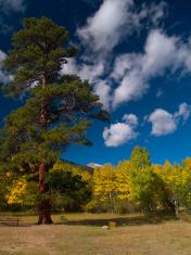Evergreen in Autumn