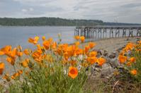 California poppies along the beach