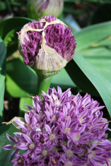 Round purple flower - allium