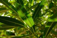 Hibiscus leaves close up