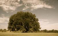 Sepia Tree