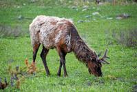 Elk Grazing During Snowfall