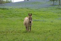 Donkey in the Bluebonnet Meadow
