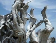 weathered tree