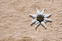 Edelweiss decoration on a rough stucco wall