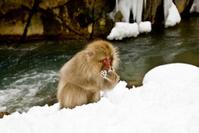 Snow Monkey: eating