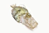 Zeus Faber....John Dory fish