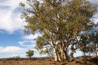 River red gum (Eucalyptus camaldulensis)