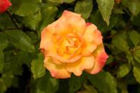 Closeup of Yellow Rose on Bush