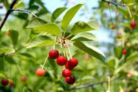 Cherries in garden