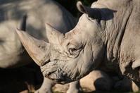 Old rhino portrait
