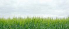 Green field of barley before cloudy sky (panoramic)