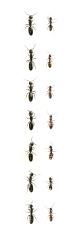 fourteen black ants