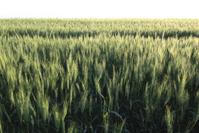 wheat field in early morning sunlight